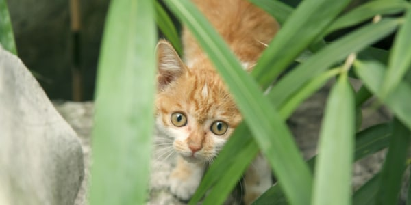 Scared orange kitten hiding in grass