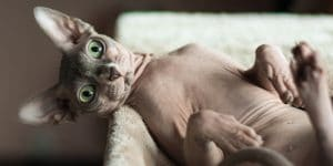 Sphynx cat lying on back