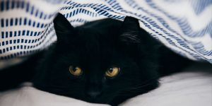 Black cat under blanket